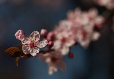 Il fiore di sakura Fotografia Stock
