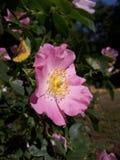 Il fiore di un tè è aumentato fotografie stock
