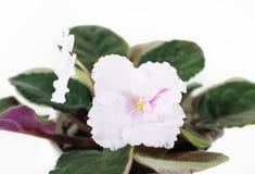 Il fiore di una viola è rosa Fiori della viola Fotografie Stock Libere da Diritti