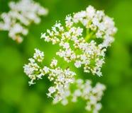 Il fiore di Valeriano con un insetto, si inverdisce il fondo vago Immagine Stock Libera da Diritti