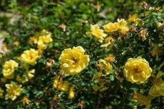 Il fiore di Yello dentro graden di Madrid Fotografie Stock Libere da Diritti