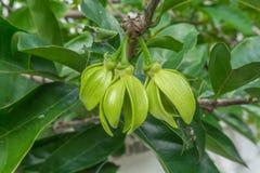 Il fiore di ylang ylang, ha buon odore Immagini Stock