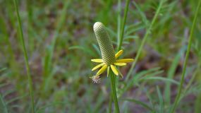 Il fiore dritto del cono della prateria fotografie stock