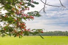 Il fiore e le foglie verdi rossi su luce solare con riso sistemano sul cielo e sulle nuvole Fotografia Stock