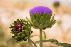 Il fiore ed il carciofo del carciofo Fotografia Stock Libera da Diritti