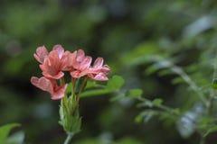 Il fiore fresco del petardo ha trovato nel mio giardino fotografia stock libera da diritti