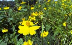 Il fiore giallo immagine stock