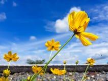 Il fiore giallo avanti via Fotografia Stock