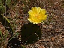 Il fiore giallo di un cactus Immagine Stock