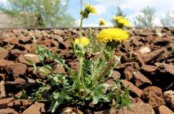 Il fiore giallo di un dente di leone ordinario di taraxacum officinale della pianta del dente di leone aka si sviluppa fra i ciot fotografia stock libera da diritti
