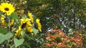 Il fiore giallo fiorisce e l'albero di acero variopinto va 4K stock footage