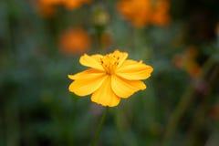 Il fiore giallo ha isolato immagine stock