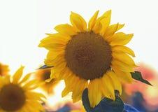 Il fiore giallo luminoso di un girasole che cresce nel campo ai soli Immagine Stock