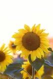 Il fiore giallo luminoso di un girasole sta sviluppandosi sul campo Fotografie Stock Libere da Diritti