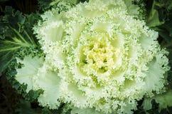 Il fiore gradisce il cavolfiore Fotografie Stock Libere da Diritti