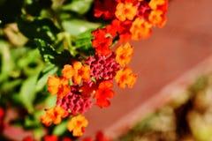 Il fiore ha fiorito nel mio giardino fotografia stock libera da diritti