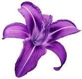 Il fiore ha isolato il giglio porpora su fondo bianco nessun ombre closeup immagini stock