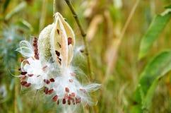 Il fiore lanuginoso bianco selvaggio con i semi marroni sulla natura verde ha offuscato il fondo Fotografie Stock