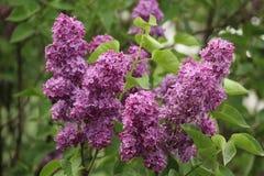 Il fiore lilla Fotografia Stock