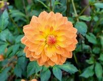 Il fiore meravigliosamente di fioritura di Dalia della dalia con i petali a colori tonifica dalla pesca/dalla gamma pastello a ro Fotografia Stock Libera da Diritti