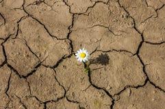 Il fiore nel deserto è margherita della terra asciutta Immagine Stock Libera da Diritti