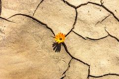 Il fiore nel deserto è margherita della terra asciutta Immagine Stock