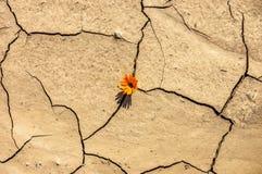 Il fiore nel deserto è margherita della terra asciutta Fotografia Stock Libera da Diritti