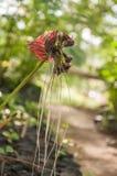 Il fiore nero del pipistrello Immagini Stock Libere da Diritti