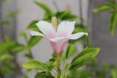 Il fiore o il cinese rosa di fioritura delle scarpe è aumentato Fotografie Stock