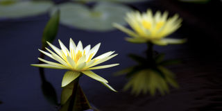 Il fiore o la ninfea di Lotus fiorisce la fioritura nello stagno Fotografia Stock Libera da Diritti