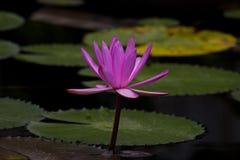 Il fiore o la ninfea di Lotus fiorisce la fioritura nello stagno Immagini Stock