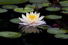 Il fiore o la ninfea di Lotus fiorisce la fioritura nello stagno Fotografia Stock