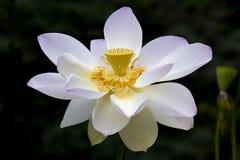 Il fiore o la ninfea di Lotus fiorisce la fioritura nello stagno Immagine Stock Libera da Diritti