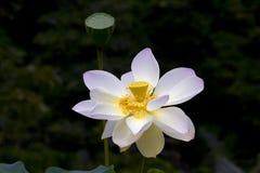 Il fiore o la ninfea di Lotus fiorisce la fioritura nello stagno Fotografie Stock