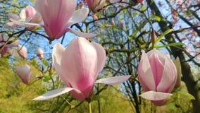 Il fiore più perfetto della magnolia fotografia stock libera da diritti