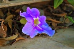 Il fiore porpora caduto sul pavimento del cemento, asciuga le foglie fotografia stock libera da diritti