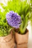 Il fiore porpora del giacinto con prato inglese verde erba in primavera Immagine Stock Libera da Diritti