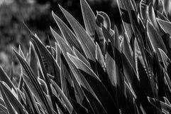 Il fiore retroilluminato copre di foglie in bianco e nero Fotografie Stock Libere da Diritti