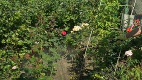 Il fiore rosa degli spruzzi del giardiniere imbussola vicino all'uva della vite dallo spruzzatore senza cordone stock footage