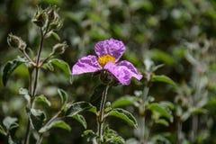 Fiore rosa della roccia Fotografie Stock