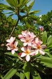 Il fiore rosa di plumeria fotografia stock libera da diritti