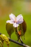 Il fiore rosa ed alcuno della ciliegia va su un ramoscello Fotografia Stock Libera da Diritti