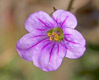 Il fiore rosa, vene porpora, ingiallisce lo stame impollinato Fotografia Stock Libera da Diritti