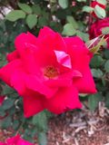 Il fiore rosso Immagine Stock Libera da Diritti