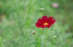 Il fiore rosso dell'universo dentro graden fotografia stock libera da diritti