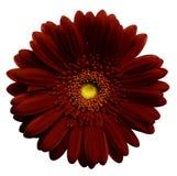 Il fiore rosso scuro della gerbera, bianco ha isolato il fondo con il percorso di ritaglio closeup Nessun ombre Per il disegno Immagine Stock Libera da Diritti