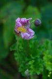 Il fiore sbocciante di un japonica dell'anemone dell'anemone Fotografia Stock