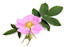 Il fiore selvaggio è aumentato Fotografia Stock
