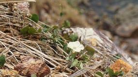 Il fiore selvaggio è nella montagna rocciosa immagine stock