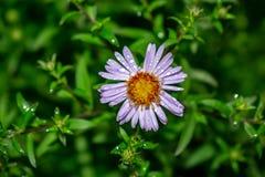 Il fiore selvaggio della margherita bianca su un prato ha offuscato il fondo Natura della foto fotografia stock libera da diritti